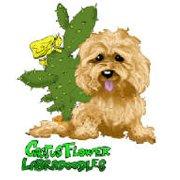 Cactusflower Labradoodles