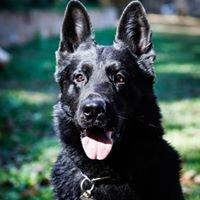 Best Black German Shepherds . com