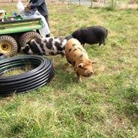 Tanglewood Ranch Kunekune's and Dexter Cattle