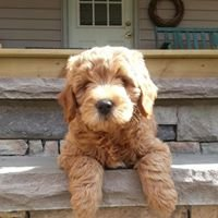 Country Mini Goldendoodles