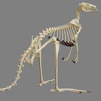 Murdoch University Veterinary Anatomy Museum