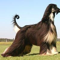 Gengala Afghan Hounds & Tibetan Terriers
