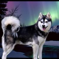 World of Wonder Alaskan Klee Kai
