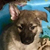 Ramey Bloodhounds & German Shepherds
