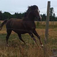 Island Morgan Horse Farm