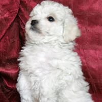 Bichon Frise and Teddy Bear puppies