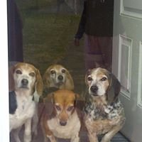 Angel Beagle and Hound Rescue inc