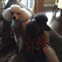 Sivam Poodles and Dog Grooming