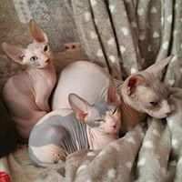 Sphynx & Maine Coon di Perbachows Cattery - Allevamento amatoriale ANFI