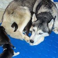 Heavenly Huskies