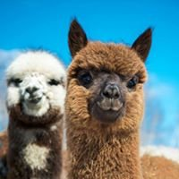 Alpagas Sutton Alpacas