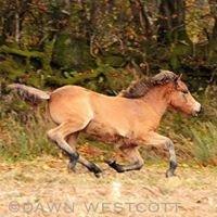 Exclusive Exmoor Ponies