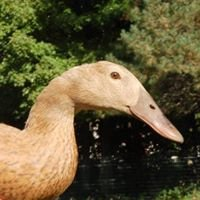 Apricot Valley Waterfowl Preservation