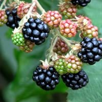 Renee's Berry Garden