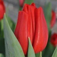 Tulipspecialist
