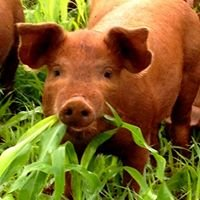 Sunnyville Free Range Pastured Pigs
