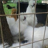 Frizzle/Frazzle Thunder Acres Funny Farm/ Allen & Teresa & A.J. Langhorne