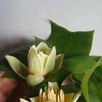 Tulip Tree Farm