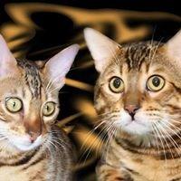 Bengal cats сattery  Nikalina's