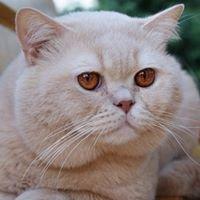 Hodowla Kotów Brytyjskich Liliowy Zakątek