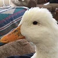 Michigan Duck Rescue and Sanctuary