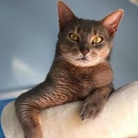MAURI Abisinis - Abyssinian Cattery
