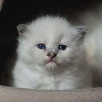 Hodowla Kotów Syberyjskich Dzika Bestia*PL
