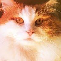 Miakoschka | Siberian Cats Australia