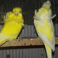 Alvi Birds Farm Hasilpur