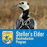 Steller's Eider Y-K Delta Reintroduction Program