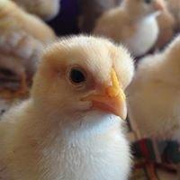 Chicks4U