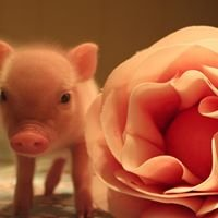 Outlaw Mini Pigs