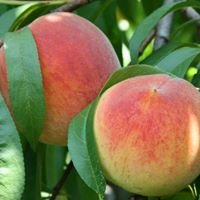 Reeves' Peach Farm