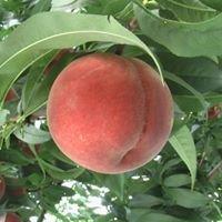 Kasai Peach Farm 笠井桃園