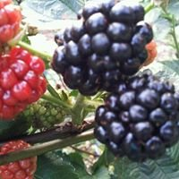 H&H Berry Farm: U-Pick / We-Pick Thornless Blackberries