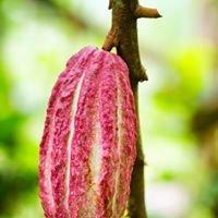 Cacao de Jamaique