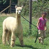 Sycamore Farm Alpacas
