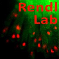 Rendl Lab - Mount Sinai School of Medicine