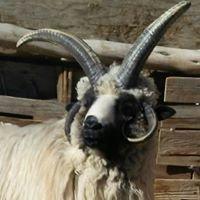 Jay's Navajo-Churro Lamb & Wool