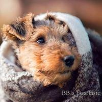 Welsh Terrier Zucht vom Zigeunerloch