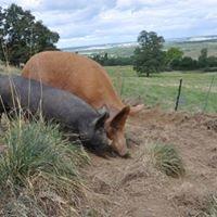 Home Farm Happy Hogs