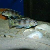 Macarthur cichlids
