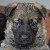 German Shepherds - Von Woden Kennels