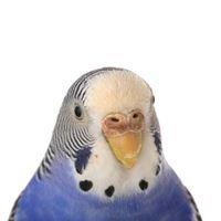 Bluey Boronia