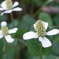 Sonoran Herbalist