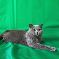 Criadero de gatos raza British shorthair