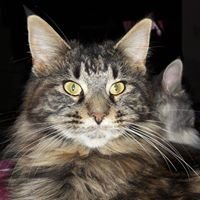 Maine Coon (Sparkle Coon Cattery)