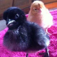 Alstonville Poultry Farm