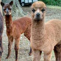 Deer Mountain Alpacas, LLC