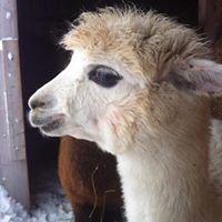 Alpaca Hill Fiber Farm